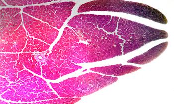 Dog Pancreas Cross Section
